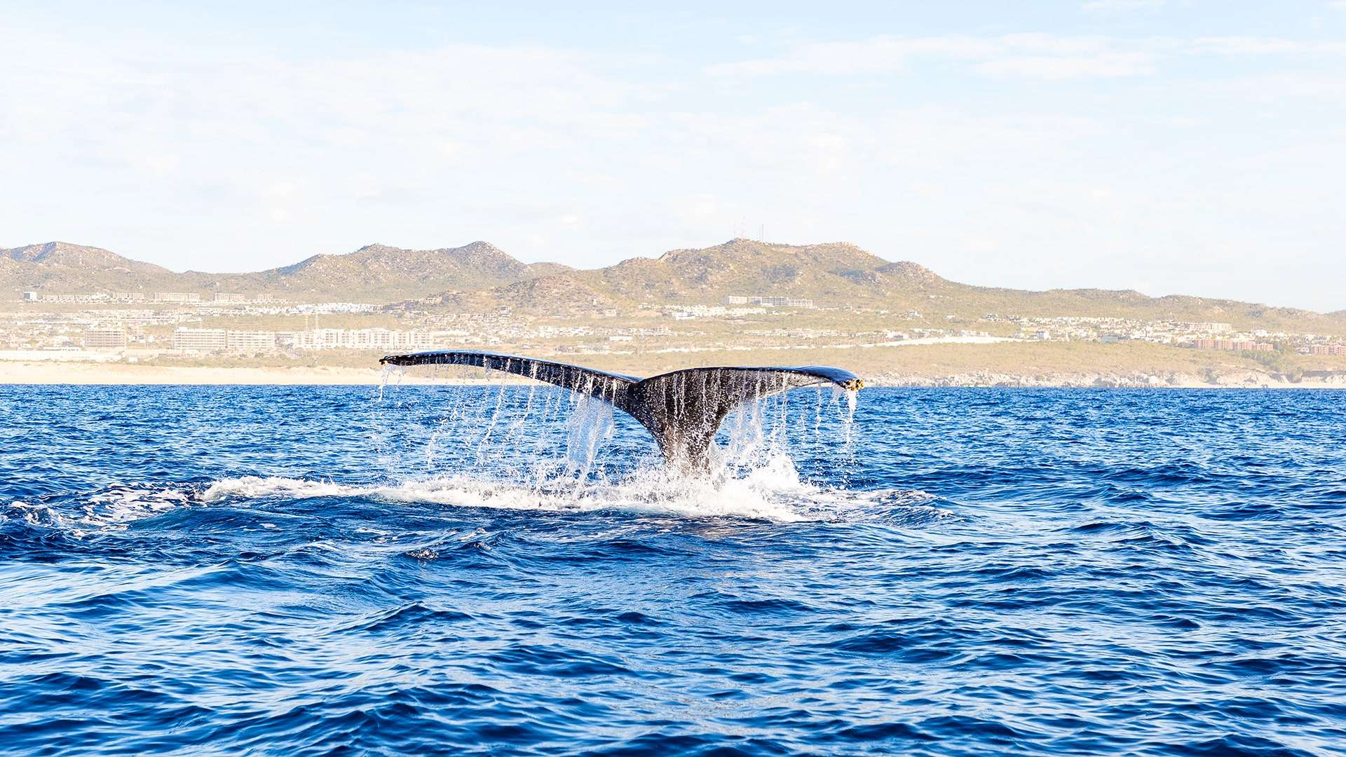 Whale Watching Season In Los Cabos