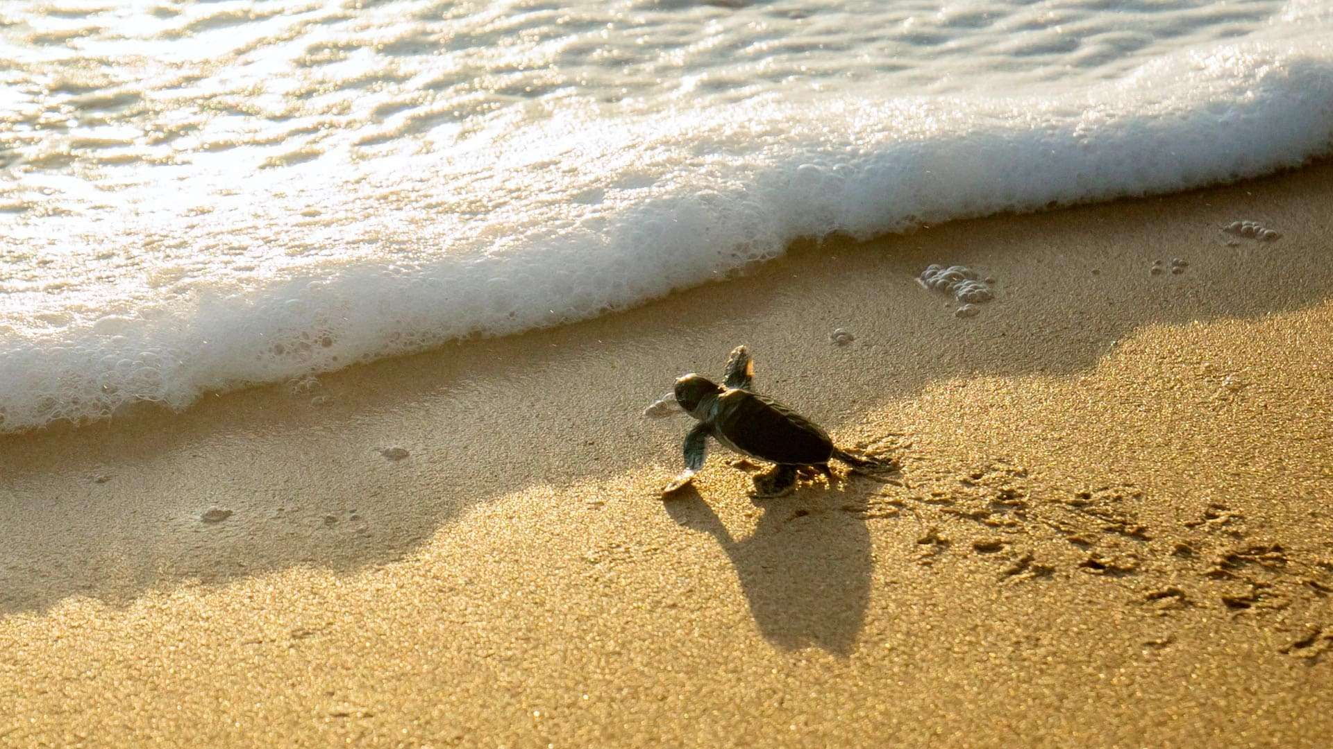 Small Turtle Directed To The Sea